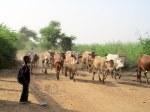 cattle crossing.