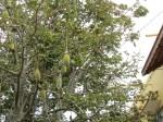 baobab fruit (makes delicious juice)